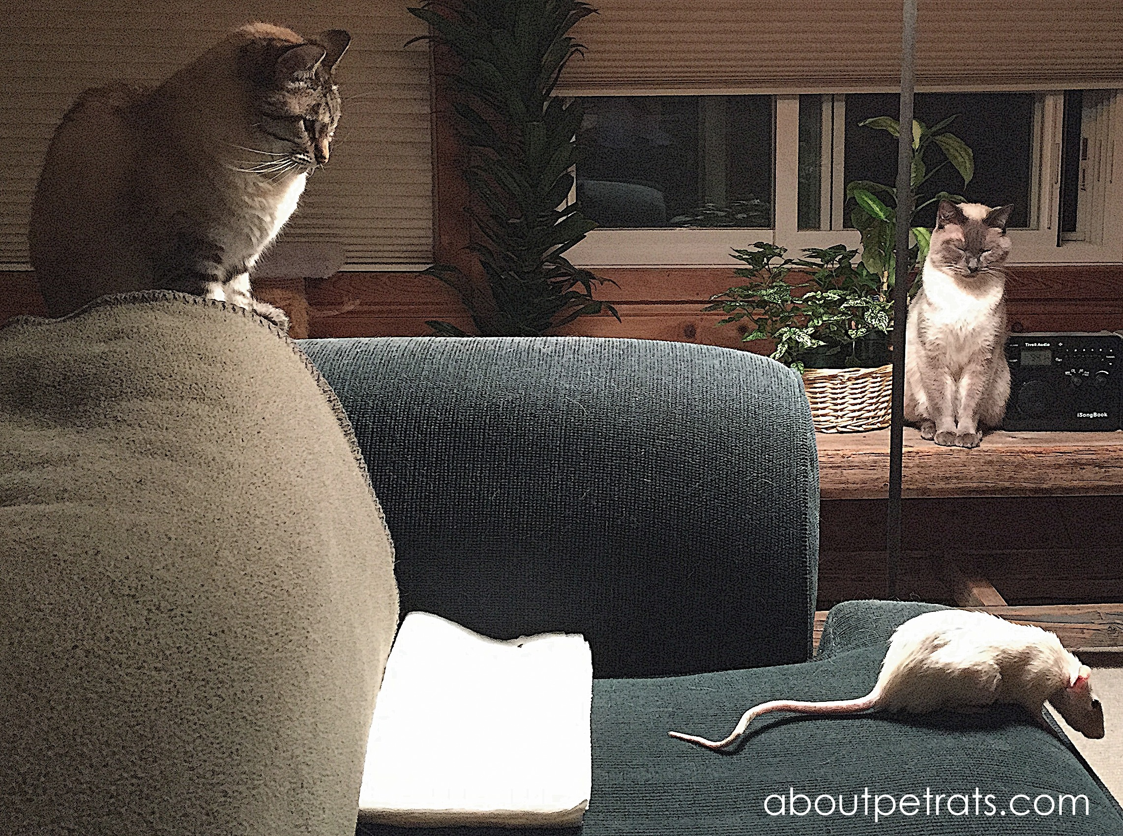 Cats and Rats - I'd never leave them alone together but, when supervised, they learn to tolerate one another