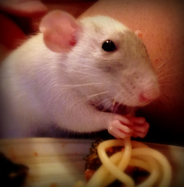 high school and pet rat cinnamon Rats rule, dogs and cats drool, according to a study on pet satisfaction survey found that children age 10 to 17 found rats to be a very satisfactory pet, more so than dogs and cats.